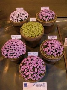 wiltshire-alpine-society-plants-grown-from-seed